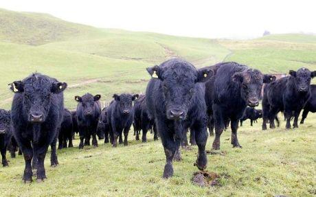 Angus cattle [photo PHOTO NZ]