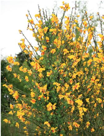 Broom flowers [photo AgPest]