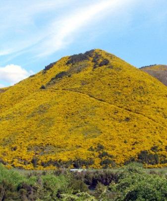 Broom covered hillside [Martin de Ruyter/Fairfax NZ]